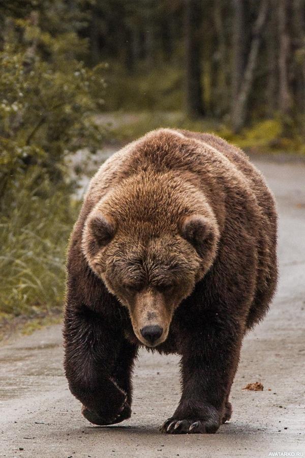 хотят идущий медведь картинка очень интересные, экскурсоводы