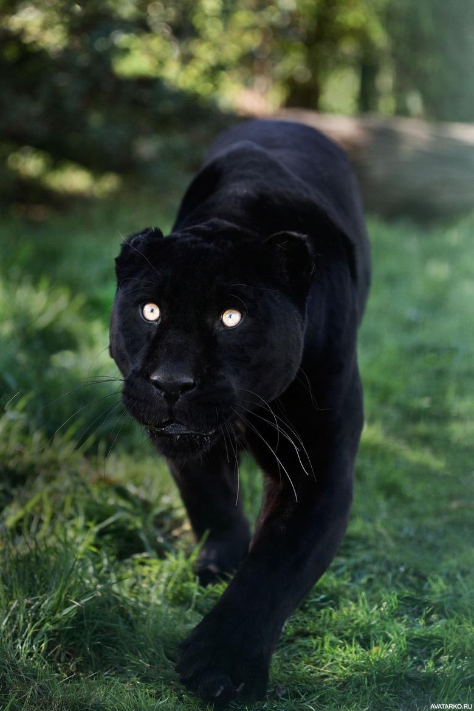 Пантера открытки, сердечки надписями