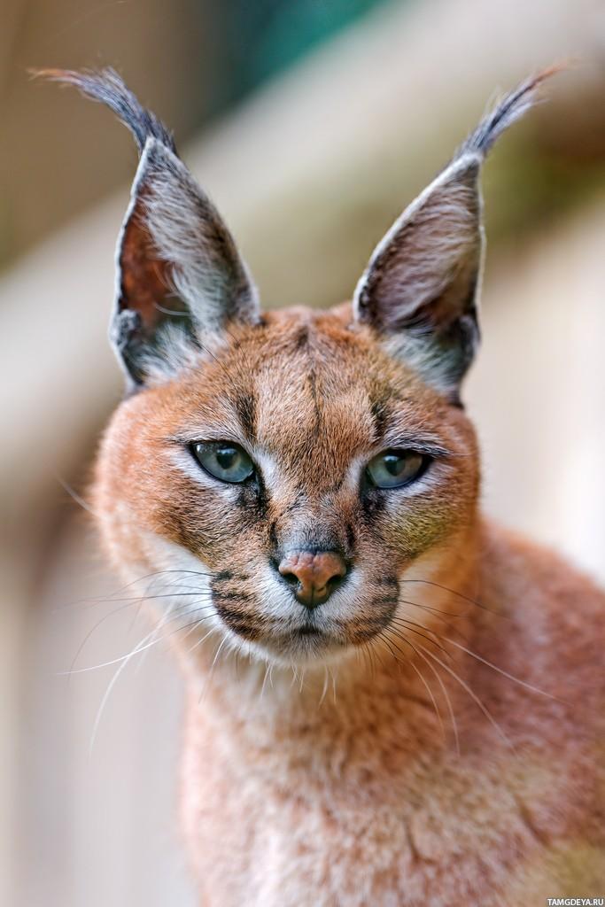 режим кошки с ушами как у рыси фото спустя год предложили
