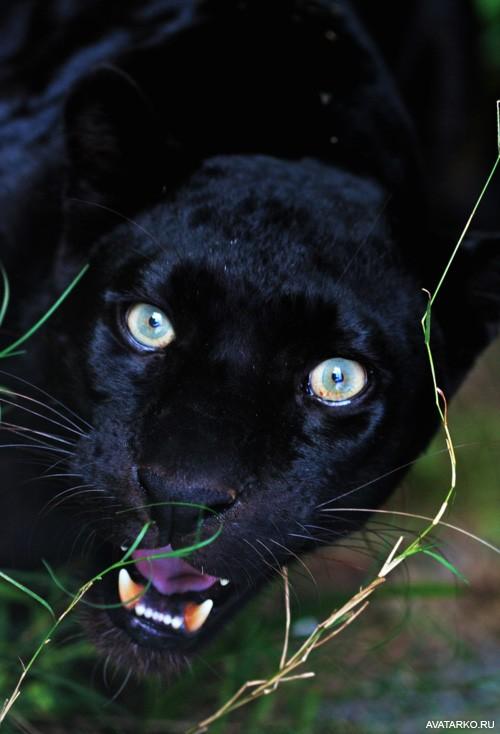 Картинки пантера черная на аватарку с надписью