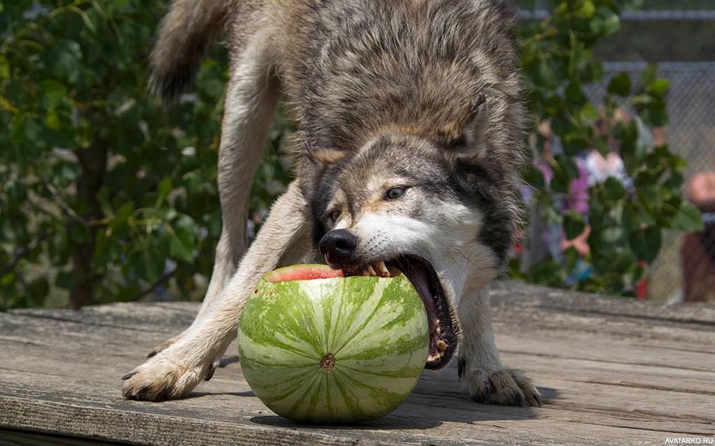 картинки животных смешные волки страху