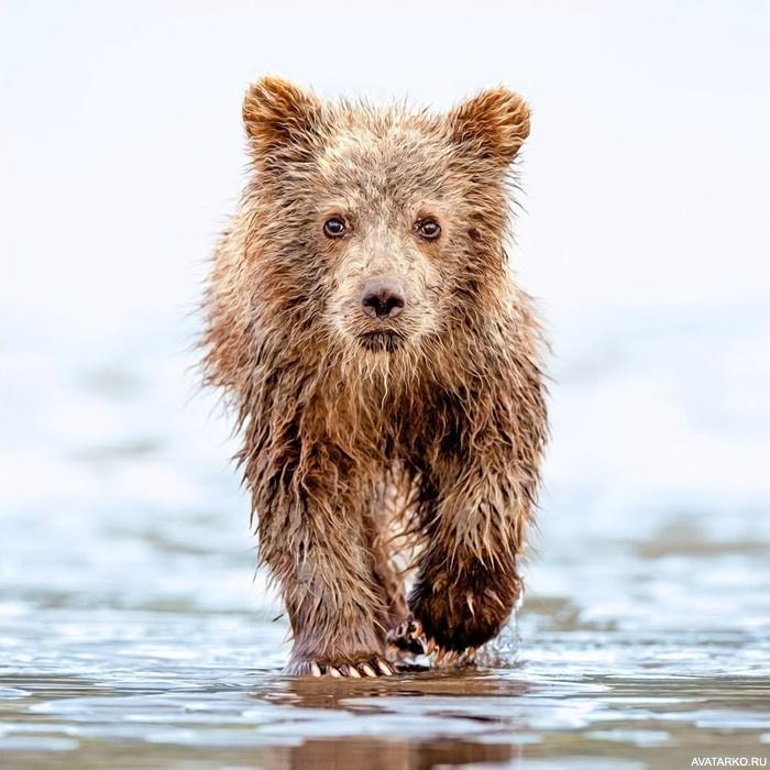 картинки мокрый медведь земля