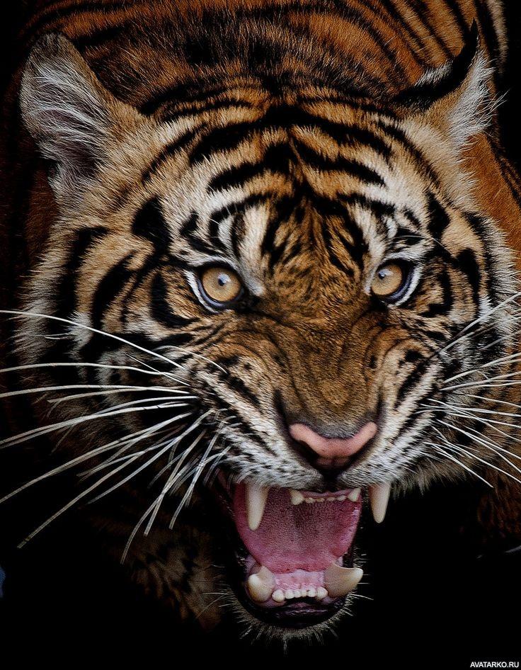 тигра с открытой пастью