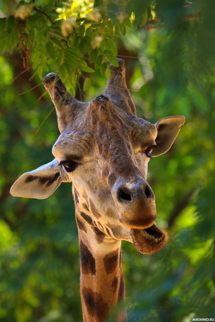 Днем рождения, картинки жирафов смешные