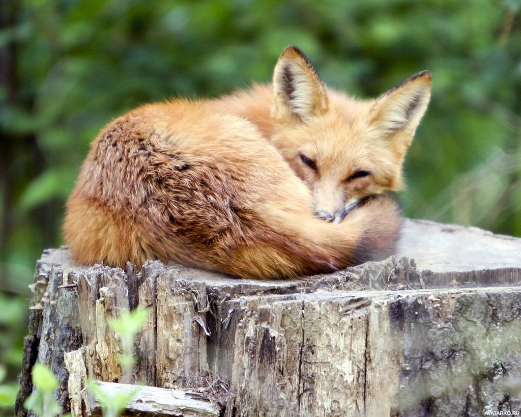 Картинки лиса на пеньке среди животных