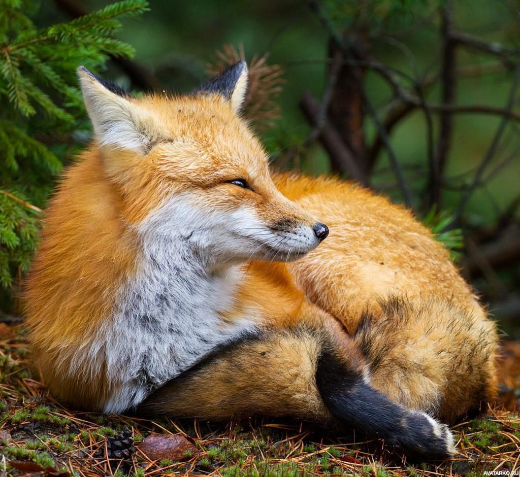 Поздравление, прикольная картинка про лису