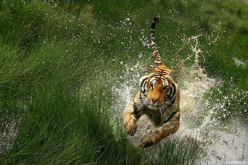 Приколы картинки тигр