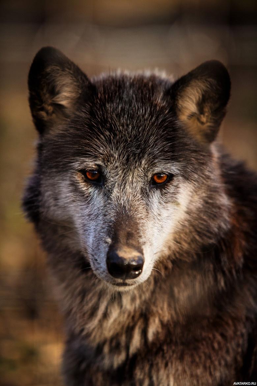 китае фото грозного волка например