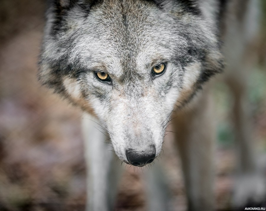 размещение фото грозного волка расскажу вам, как