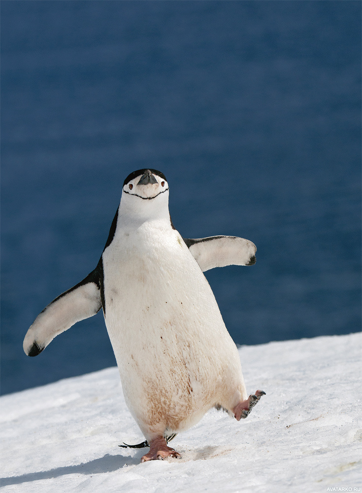 Картинки пингвинов прикольные, чудного утра