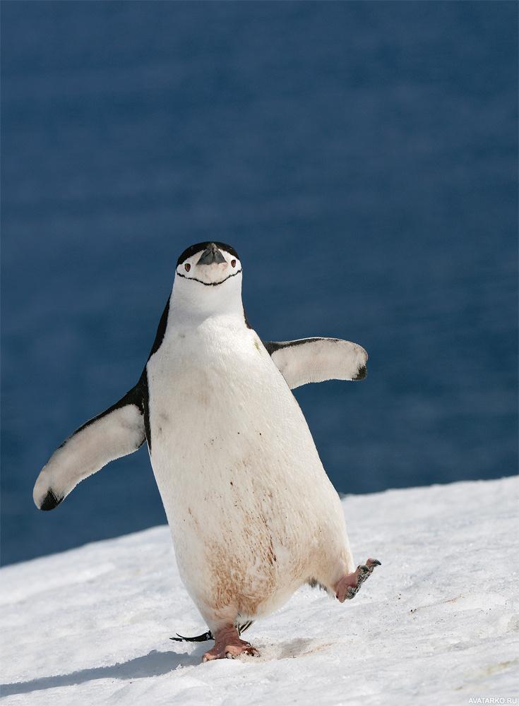 Ремонта квартир, прикольная картинка пингвины