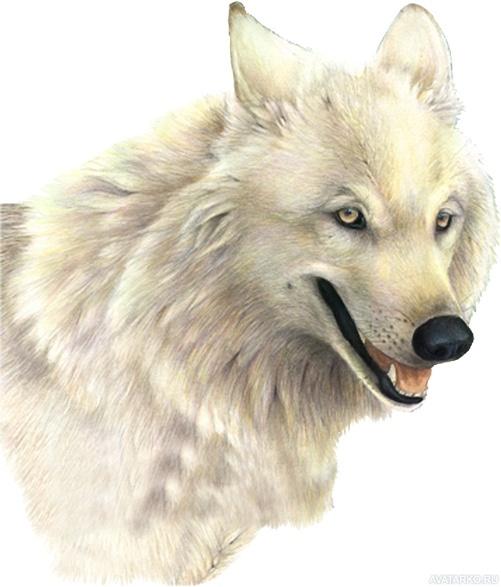 Картинка 501x587 | Белый волк на прозрачном фоне | Животные, Волки, Волки картинки, фото