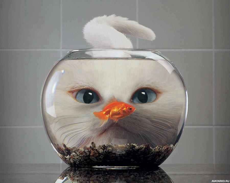 Золотая рыбка в аквариуме на фоне морды кота — Картинки и ...