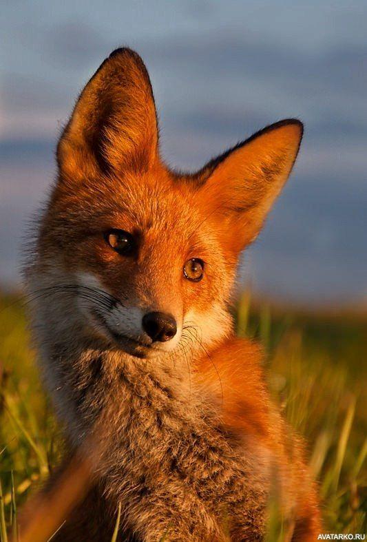 наконец, случайно фото лиса для авы также имеют