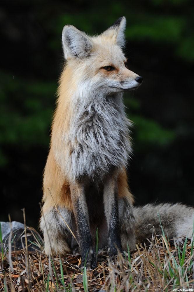 библиотека лисичка ждет картинки описанием