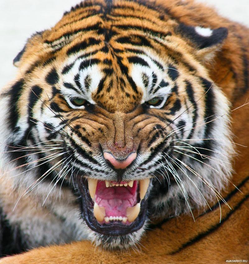 Фото тигренка на аву